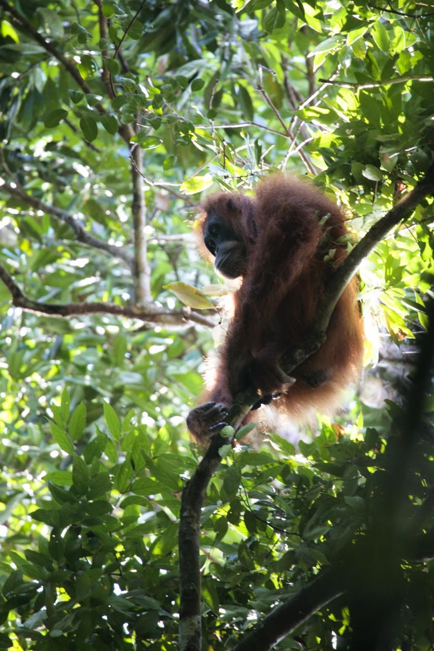 Orangutan Trekking / Indonesia